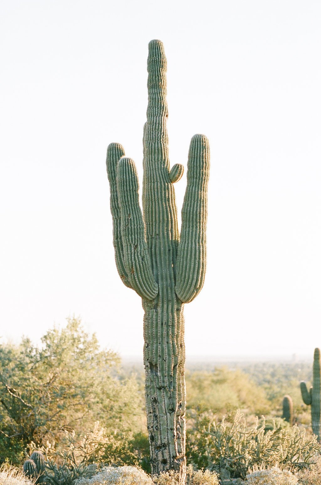 Large cactus plant in the dessert