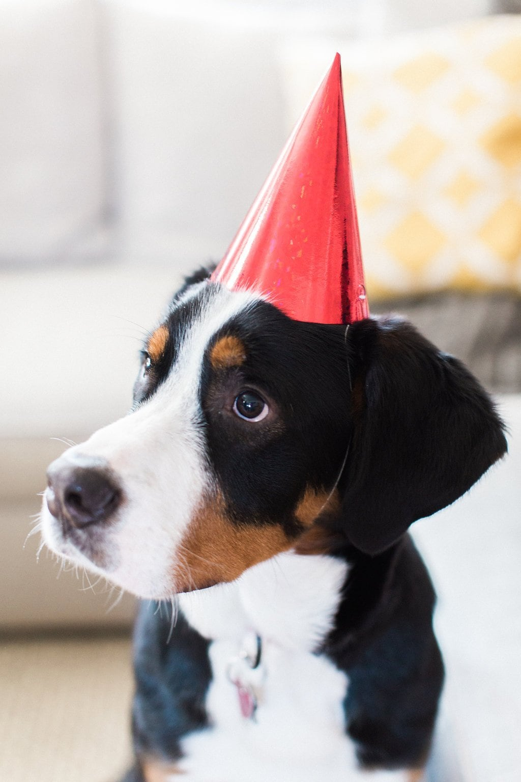 swiss mountain dog posing for birthday portraits