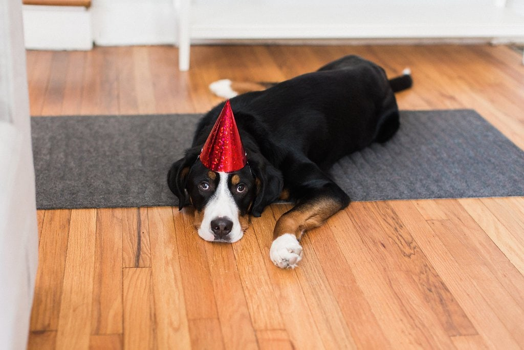 Swiss mountain dog laying on the floor wearing red hat