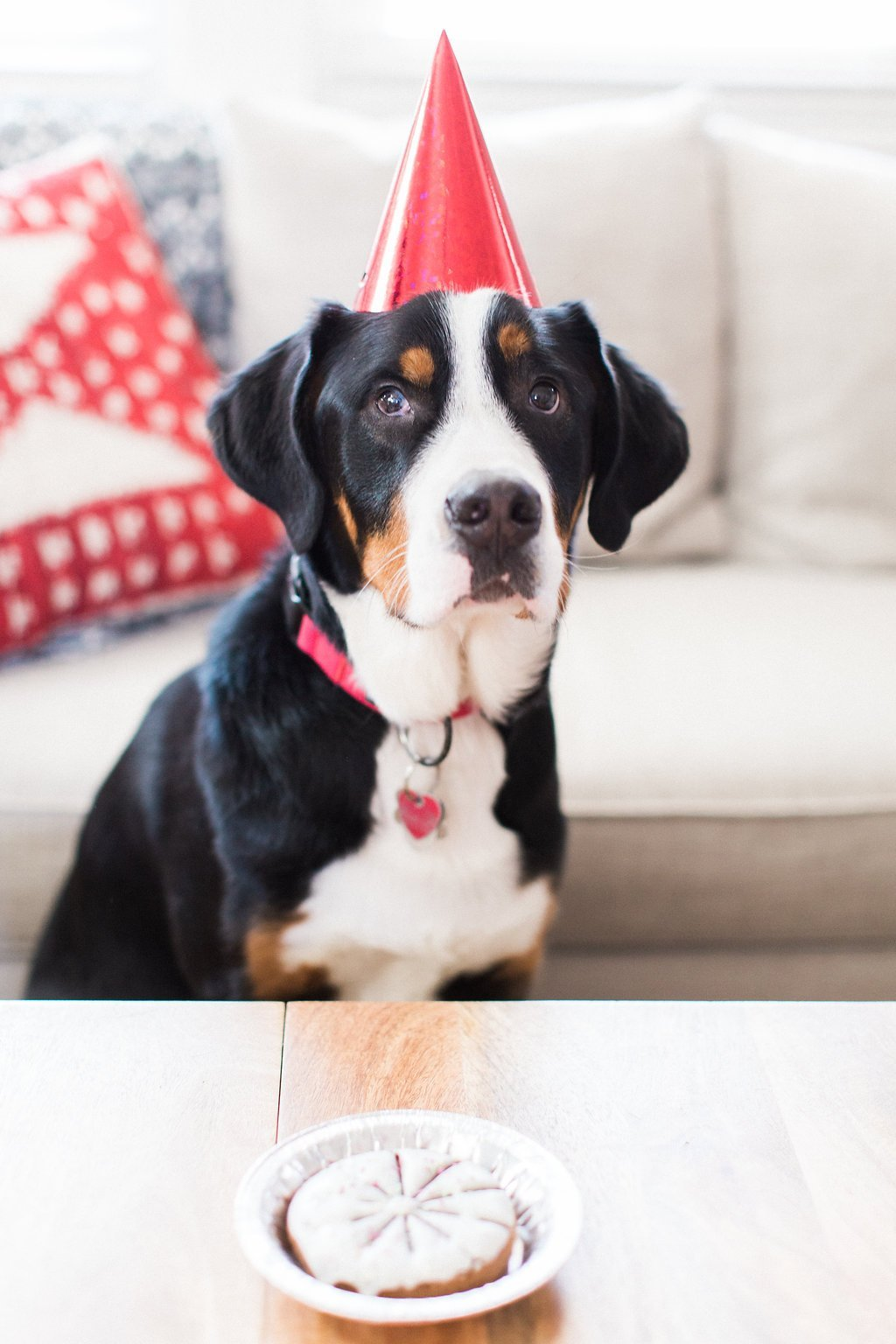 Bernese mountain dog wearing red cone birthday hat