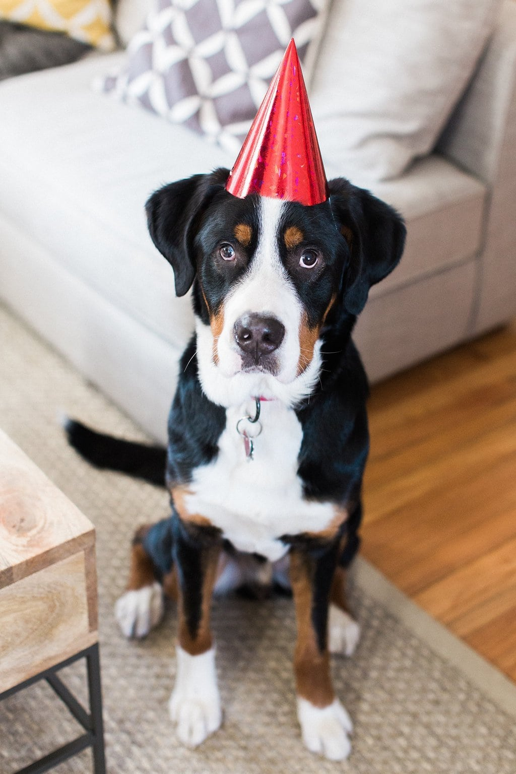 Greater Swiss Mountain Dog wearing red party hat Rookie the Swiss Mix
