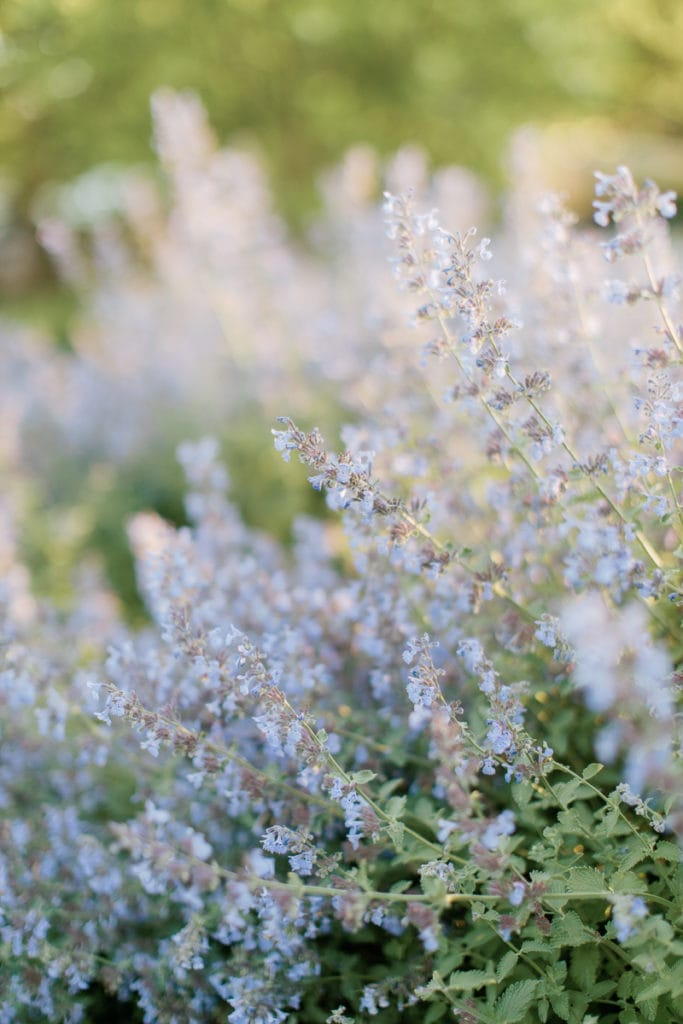 close up of lavender bushes: outdoor newborn session
