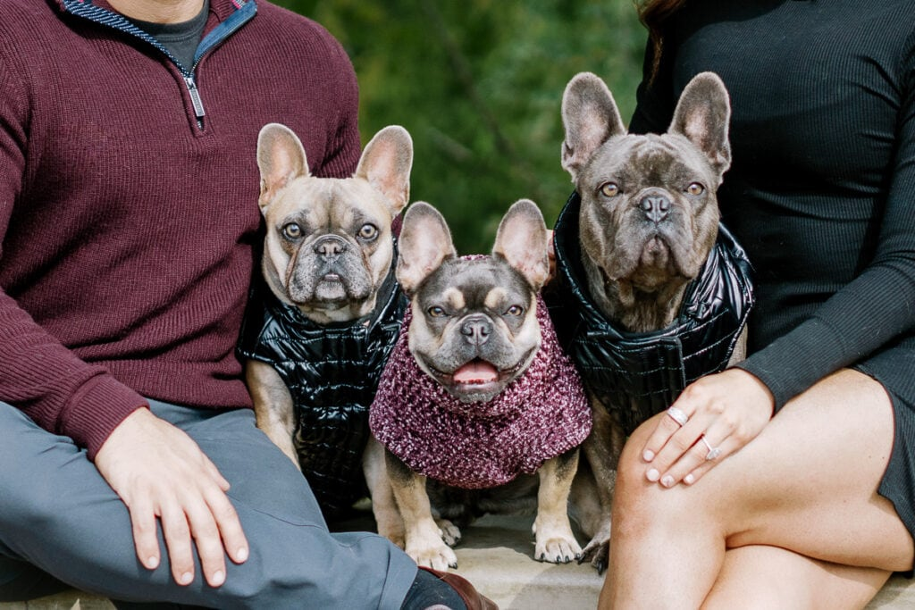 Three french bull dogs wearing coats